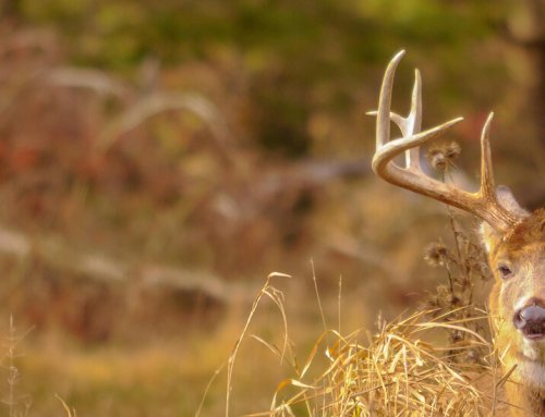 Early Season Whitetail Scenarios:  What Would You Do?