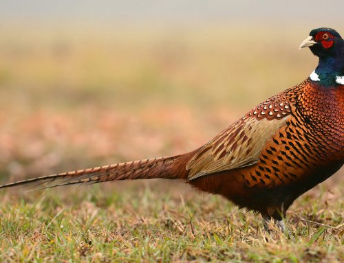 Strategic Pheasant Hunting