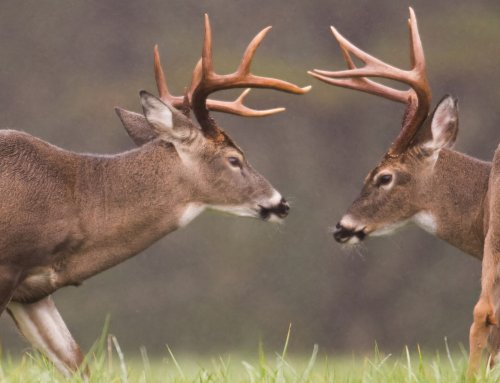 Whitetail Body Language