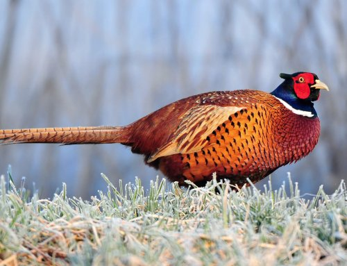 """How to Optimize Specific Pheasant Areas"""