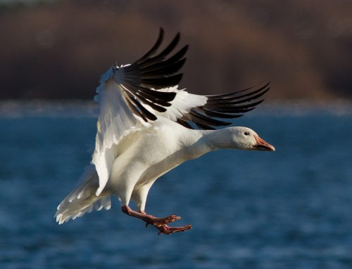 Plan a Guided Snowgoose Hunt