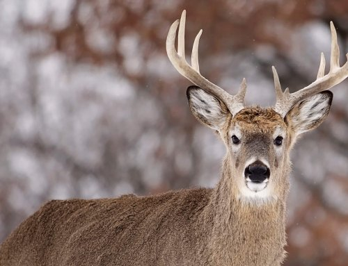The Puzzle in Patterning a Rutting Buck