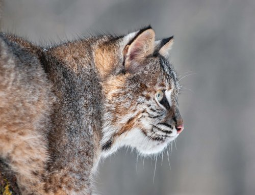 Encountering Iowa Bobcats