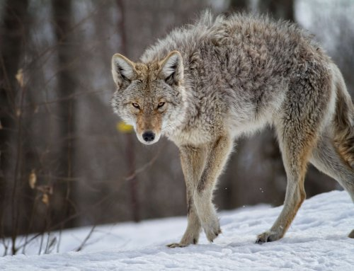 Trapping Coyote and Their Impact On The Ecosystem – Podcast