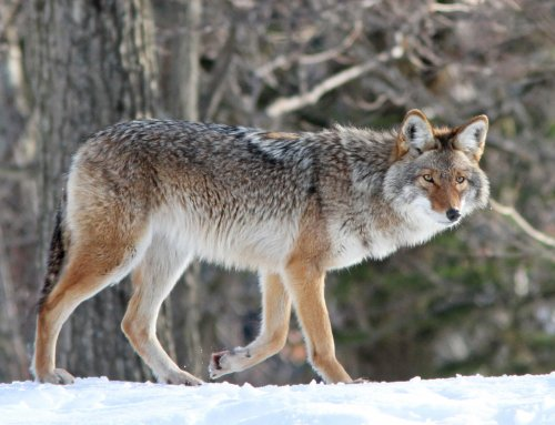 Snaring Coyotes on Edges & Points