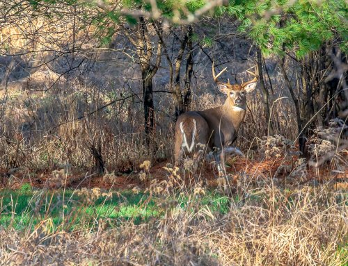 Whitetail Habitat Improvement – Podcast