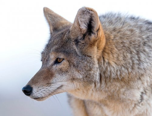 When It All Goes Wrong: Preventing the Mistakes That Spook Coyotes