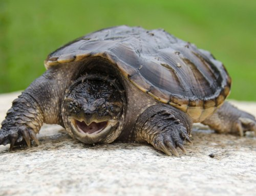 Hunting Snapping Turtles Not for the Faint of Heart