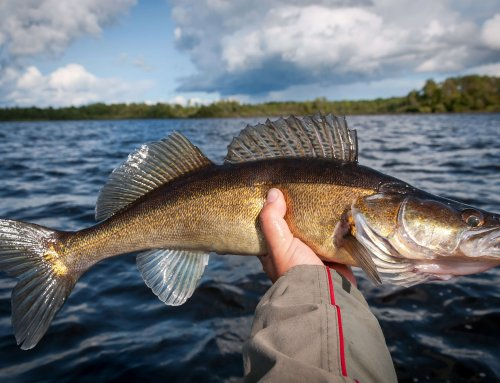 Transition Walleyes: Post Spawn Behaviors and Tactics