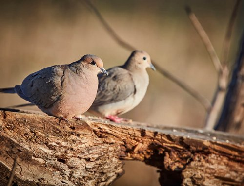 Iowa Dove Hunting: A Beginners Guide