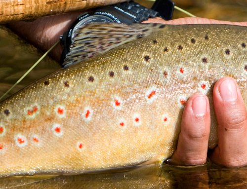 A Day in the Life of a Northeast Iowa Trout