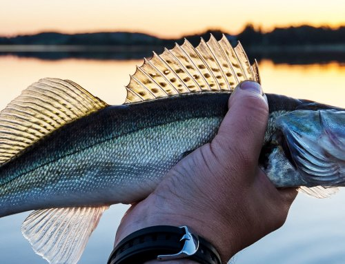 September Walleye – Transition Time