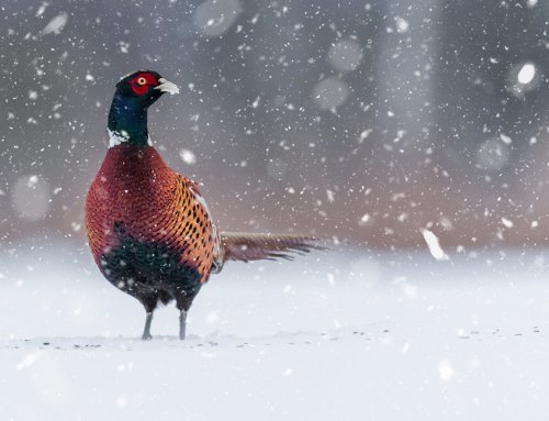 5 Tips for Late-Season Pheasants