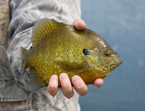 Early Ice Panfish